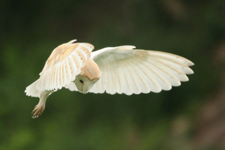 Barn Owl Taking Off 8 Sep